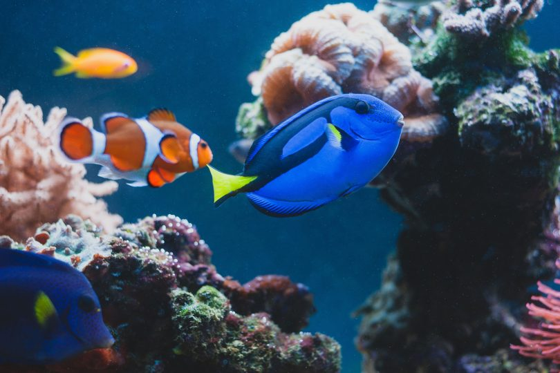 Adobe Stock 223545738_clowfish and blue tang